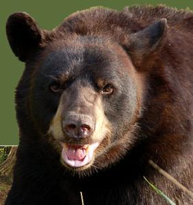 Fear of Bears